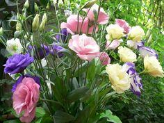 Эустома: украшение вашего сада