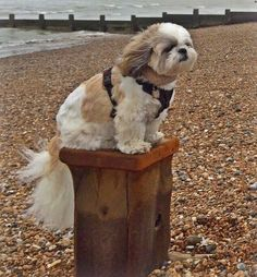 The answer, my friend, is blowing in the wind...... ==> visit http://www.amazingdogtales.com/gifts-for-shih-tzu-lovers/