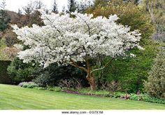 Resultado de imagen de Prunus serrulata 'Jo-nioi'