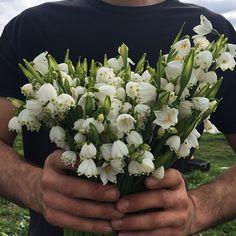 Picking handfuls of my favorite early spring flower, Leucojum 'Gravetye Giant'.