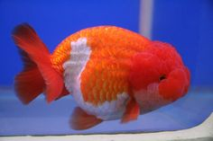 Ranchu: King of Goldfish