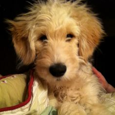 My goldendoodle :)