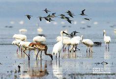 候鳥在鄱陽湖覓食。(記者許南平攝)