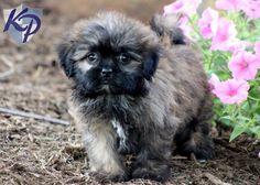 Fifi – Shih Tzu Mix Puppy