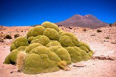 3000年以上生きている「ヤレータ」という植物。なんとも不自然で、この世のものとは思えない。