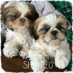 Shih Tzu – Affectionate and Playful Tiny Puppies, Cute Puppies, Cute Dogs, Shih Tzu Puppy, Shih Tzus, Puppy Pictures, Animal Pictures, Maltese Poodle, Lhasa Apso