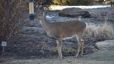 One hungry deer