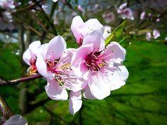 Hale Haven Peach Tree Trees Online, Backyard Paradise, Peach Trees, Tattoo Inspiration, Garden, Plants, Garten, Lawn And Garden, Gardens