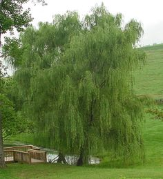 Weeping Willow Tree - slow growing but could help absorb excess water in the soil.