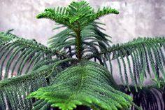 Norfolk Island pine (Araucaria heterophylla) care from \