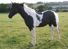 Zangersheide/Piebald/Nonstop Lightning UK Z - Uk and International Stud Farm: Stud Uk Euro Cute Horses, Pretty Horses, Horse Love, Beautiful Horses, Horse Pictures, Cute Animal Pictures, Paint Horses For Sale, Horse Coat Colors, Horse Markings