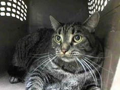 NYC TO BE DESTROYED 08/14/14 DOUGHNUT's 'OWNER' (Guardian) In HOSP & came in with Group/Litter #K14-185829.. ID #A1008711. Neutered male brn tabby and white about 5 YEARS old. https://www.facebook.com/nycurgentcats/photos/a.844226288928693.1073742398.220724831278845/844226565595332/?type=3&theater