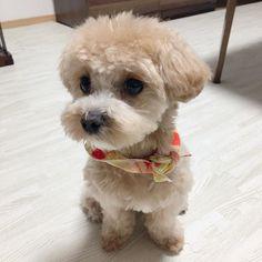 夏仕様で耳を短くしてもらった♪ お似合いです\( ˆoˆ )/♡ #マルプー #ミックス犬 #犬のいる暮らし #愛犬 #うに