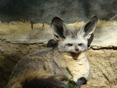 The Bat-eared fox (Otocyon megalotis). Sort of aww, sort of awesome. #imgur