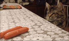 A cat pines for hot dogs on a table