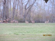 White Tail deer running along the backfields at McMillan Farms. Deer Running, White Tail, Farms, Animals, Homesteads, Animales, Animaux, Animal, Animais