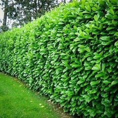 These stunning plants work hard to create outdoor privacy. These outdoor privacy plants are easy to manage, and a great addition to your yard. Try these plants for outdoor privacy! Clusia, Flower Landscape, Landscape Design, Garden Design, Organic Gardening, Gardening Tips, Vegetable Gardening, English Laurel, Hedging Plants
