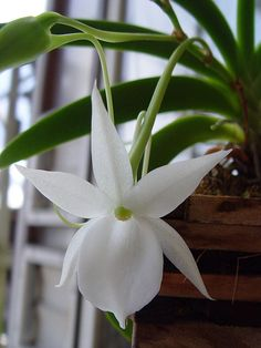 Delicate beauty....Angraecum Orchid by Kokin