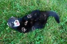 play with me! #ferret