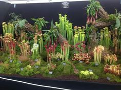 Botanical wonders...the carnivorous plants grown in a terrarium.