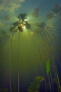 Under the waterlillies