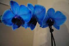 Orchids blue-my-mind