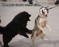 Funny Animal Pictures Of The Day 21 Pics - Funny Animal Quotes - - Siberian Husky Borzoi Tibetan Mastiff Puppy Husky Funny animal Wolf hunting: When your shadow comes alive.oo The post Funny Animal Pictures Of The Day 21 Pics appeared first on Gag Dad. Funny Animal Jokes, Dog Quotes Funny, Funny Animal Photos, Cute Funny Animals, Funny Animal Pictures, Cute Baby Animals, Funny Dogs, Cute Dogs, Funny Memes