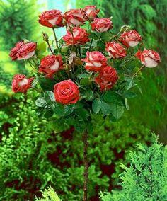 The Osiria Rose : a breathtaking beauty