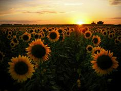 Good Morning Sunshine ~ I wish I could go lay in a field of sunflowers right now ~ ღ
