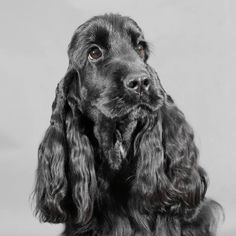 Black Cooker, Cockerspaniel, Amazing Friends, English Cocker Spaniel, Dog Pin, Hyena, Dog Quotes, Puppys, Dog Pictures