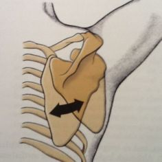 """LATERAL ROTATION and MEDIAL ROTATION of the scapula (clavicle of pectoral girdle) a.k.a. 'hands up!"""" pose (my term!) Takes place on an axis of rotation imaginary crossing through middle of scapula. Lateral rotation implies rotation on a  lateral and upward direction and medial rotation implies rotation on a medial (towards spinal cord) and downward position."""