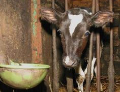 the face of veal. as long as you continue to consume dairy products, these calves are made to be abducted from their mothers to be murdered.