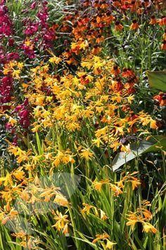 Buy montbretia Crocosmia × crocosmiiflora 'George Davison': Delivery by Waitrose Garden in association with Crocus