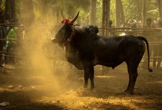 As a part of the Pongal celebrations on the Mattu Pongal day Jallikattu the famous Bull sport is witnessed by thousands of people. Read all about the event and the growing protests against the ban. Bull Images, Bull Pictures, Pictures Images, Cow Photos, Mattu Pongal, Bulls Wallpaper, Hd Wallpaper, Pongal Celebration, Bull Painting