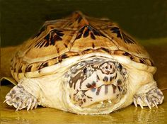 Mexican Musk Turtle
