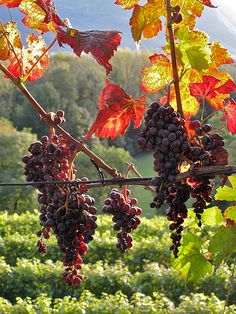 Oh the grapes ...! Makes glorious grape juice in fall, stuffed grapeleaves, vine wreaths
