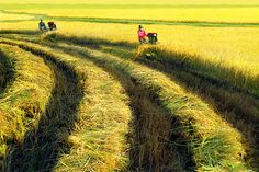 Récolte du riz Vietnam, Vineyard, Photos, Tropical, Country Roads, Outdoor, Gardens, Fruit Garden, Abundance
