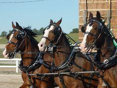 Team Work -Orono Fair , Ontario My Horse, Horses, Father Ted, Teamwork, Ontario, Explore, Animals, Animales, Animaux