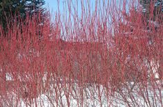 Selecting shrubs for Minnesota landscape : Yard and Garden : University of Minnesota Extension