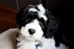 Taco the Portuguese Water Dog - 8 Weeks