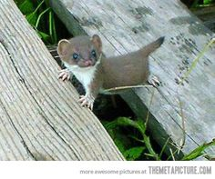 Baby stoat!! Stoats, also known as Ermine and Short-Tailed Weasels, are members of the Mustelid family (ferrets, skunks, badgers, wolverines, minks, weasels). They're native to the colder regions of North America and Asia.