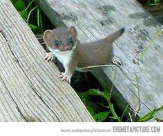 Tiny baby stoat