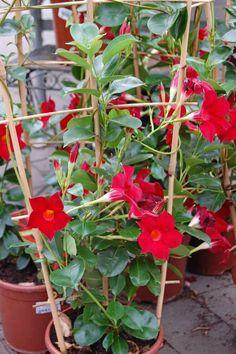 YNDIG. Klatreplanten Ynde finnes i høyrød, rosa og hvitt. Den overvintrer hvis den får det frostfritt.