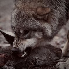 Wolf Spirit, Spirit Animal, Coyotes, Snarling Wolf, Angry Wolf, Wolf Pictures, Art Story, Girls In Love, Werewolf