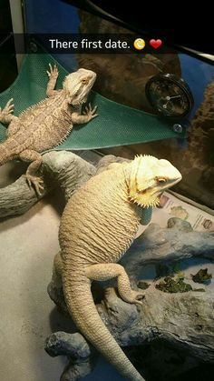 First date bearded dragons