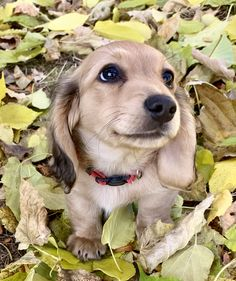 Quality longhair cream dachshunds and puppies Doxie Puppies, Dachshund Breed, Weenie Dogs, Dachshund Love, Cute Puppies, Cute Dogs, Miniature Dachshund Puppies, Doggies, Long Haired Miniature Dachshund