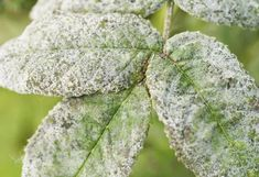 How to Get Rid of Powdery Mildew on Plants Powdery Mildew, How To Get Rid, Garden, Plants, Garten, Lawn And Garden, Gardens, Plant, Gardening
