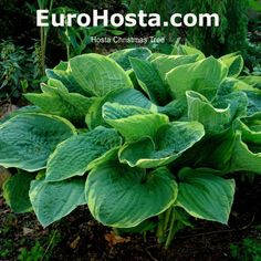 Hosta Christmas Tree - Eurohosta