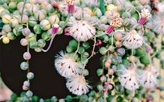 String Of Beads ~A beautiful plant that produces colorful beads & aromatic flowers.