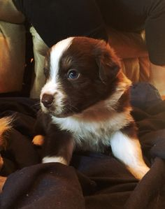 Red Tri Australian Shepherd Puppy at 3 1/2 weeks. My little guy I picked out :)